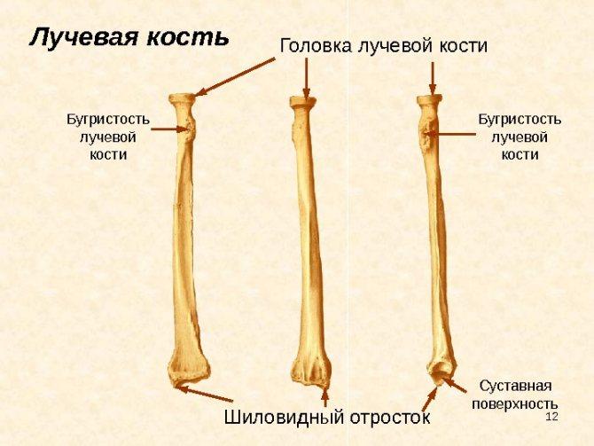 Будова променевої кістки