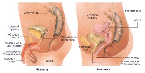 Будова сечостатевої системи у чоловіків і жінок