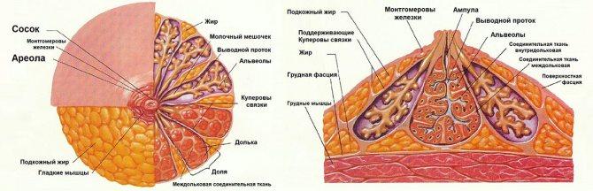 будову молочних залоза