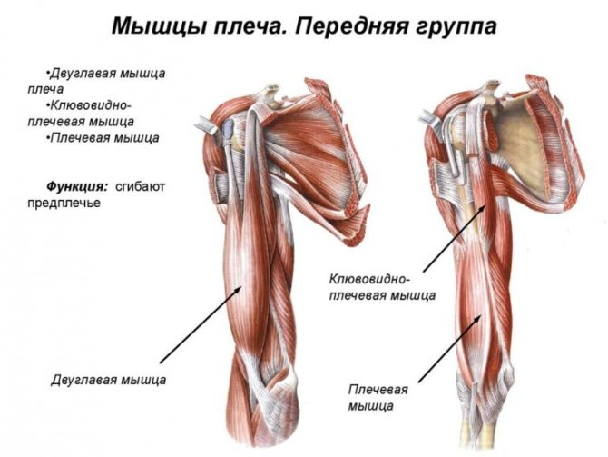 Будова м'язів плечового пояса