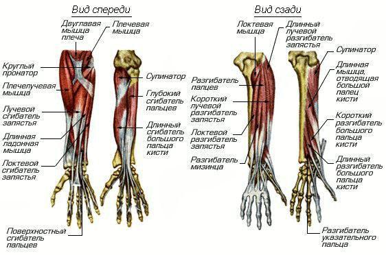 Будова м'язів передпліччя