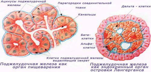 Будова підшлункової залоза