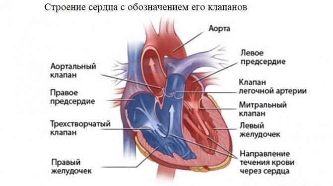 Будова серця з позначенням його клапанів