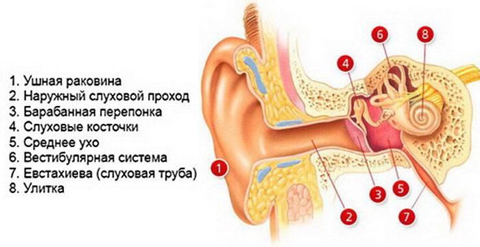 будова вуха людини