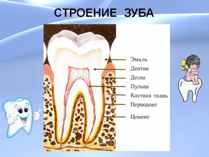 будова зуба