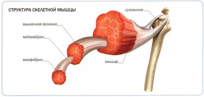 структура скелетного м'яза