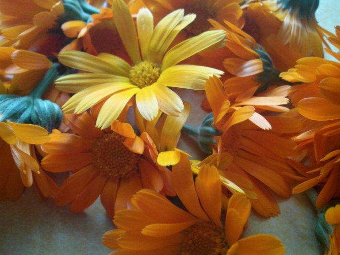 Свіжозібране квіти календули