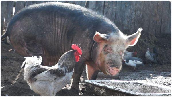 свиня і півень