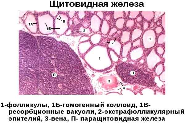 тканину щитовидної залози
