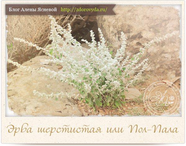 Трава ЕРВА шерстистий в гінекології