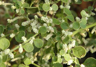 трава ерви шерстистої лікувальні властивості