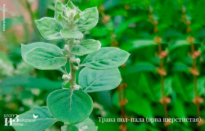 Трава пол-пала (ЕРВА шерстистий). фото