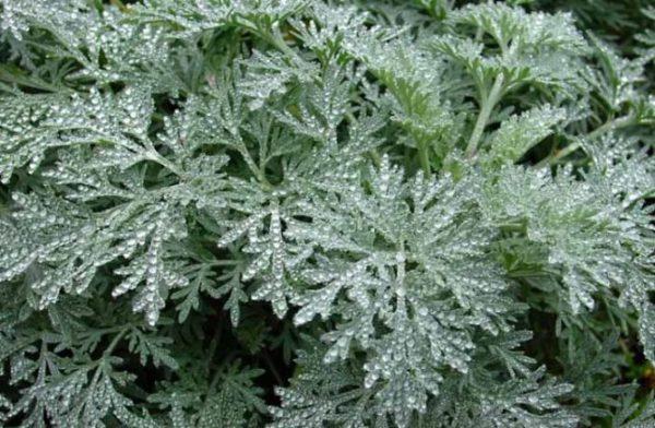 Трави для підшлункової залози і печінки