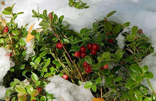 У той же час, ягоди після морозів втрачають багато кислот і мають особливо приємний смак.