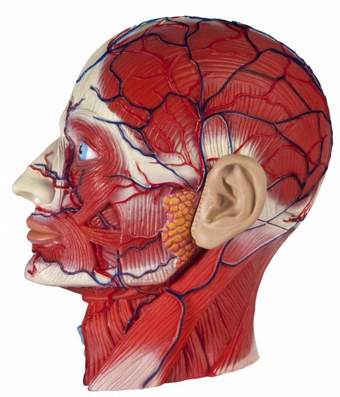 вени і артерії особи