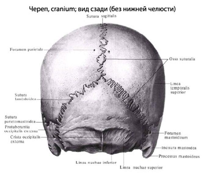 вид ззаду череп людини