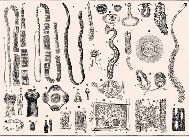 Види глистів людини на схемі