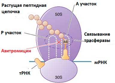 вплив антибіотика на рибосоми