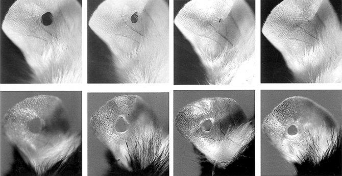 Відновлення тканин вуха миші