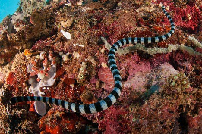 Отруйна морська змія