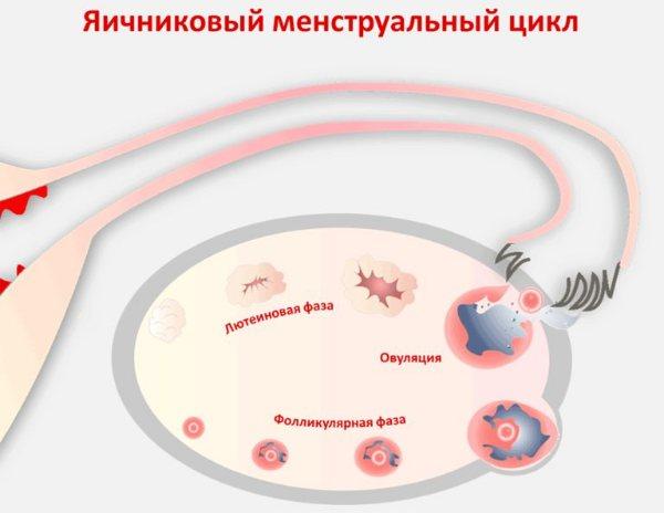 яєчниковий цикл