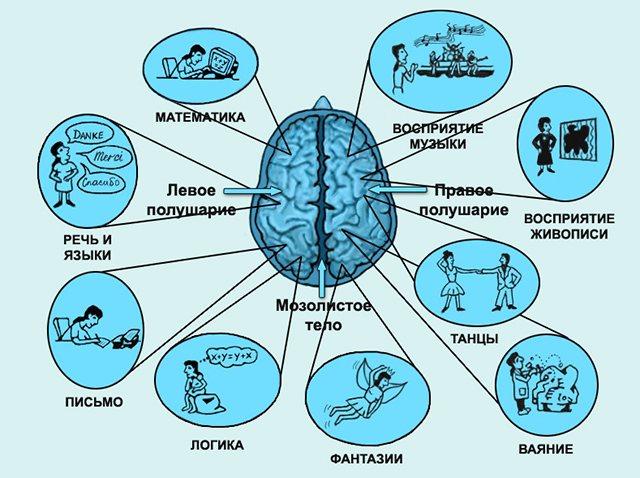 За що відповідає мозок