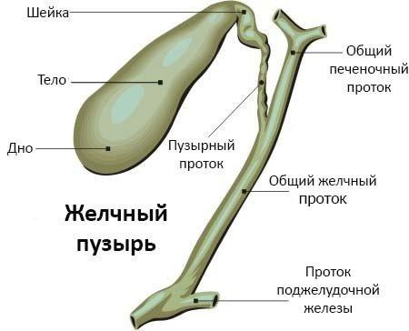 Жовчний міхур. Симптоми захворювань, діагностика та лікування. Препарати, народні засоби, дієта