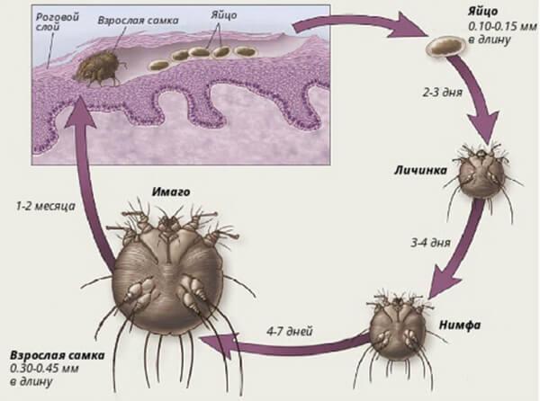 Життєвий цикл коростяний кліщ