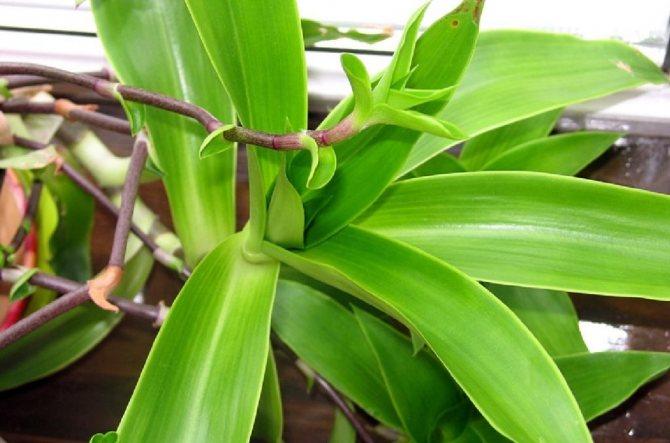 Золотий вус рослина
